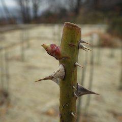 春の温かさを感じて芽が伸びて来ました