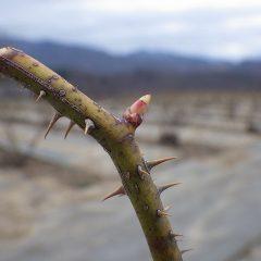 農場のローズも芽が動き出しました