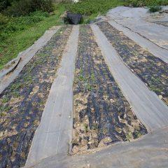 8月5日に除草したカモマイル・ジャーマン畑にはまた雑草が生えてきました
