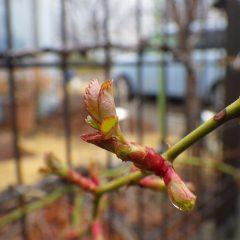 事務局前のつるバラの葉が広がり始めました