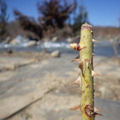 ローズの芽は順調に伸びています
