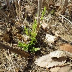 ティートゥリーに芽が出てきました
