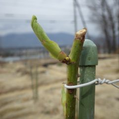 事務局前のローズは芽の先から葉が見えて来ました