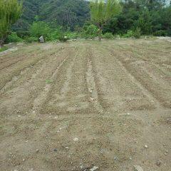 カモマイルジャーマン畑