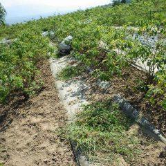ローズ収穫後2回目の除草作業です