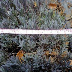 直径は約120cmに育っていました