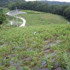 ローズ畑の除草作業も続いています