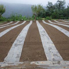 カモマイル・ジャーマン畑に種蒔きをしました