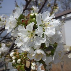さくらんぼの花が咲き始めました