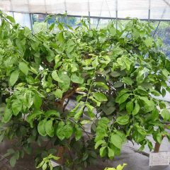 雨の日は日頃管理出来ないビニールハウス内で伸び放題になっていた柑橘類の手入れをしました