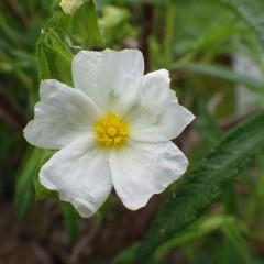 ロックローズの清楚な花