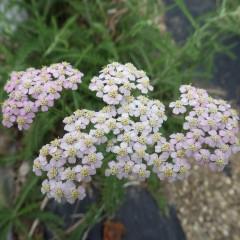ヤローは小さな花が集まって咲いています