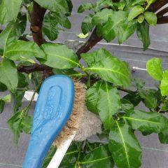 1枚1枚ブラシを使って全ての葉を洗います