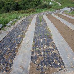 防草シートを張っていた畑のマルチ撤去作業