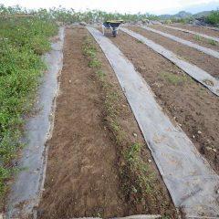 防草シートを張っていなかったマルチに生えた雑草の除草作業
