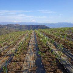 農場のローズは富士山に見守られながら順調に育っています