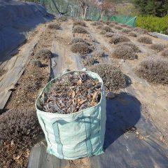 ラベンダーの剪定が終了したので畑の片付け作業です