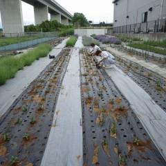 ペパーミントの苗を植えて栽培面積を増やしました