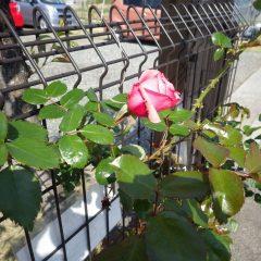 つるバラの最初の花が開き始めました