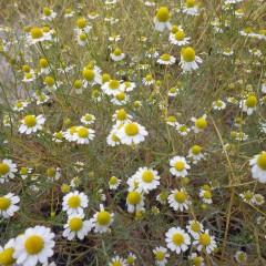 カモマイル・ジャーマンの2番花が咲いています