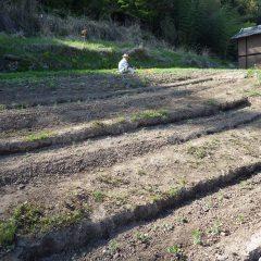 ヨモギ畑の除草作業