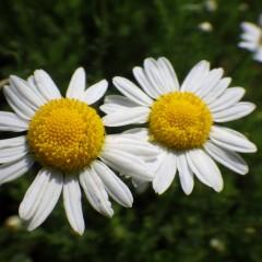 大きく立派なカモマイル・ローマンの花