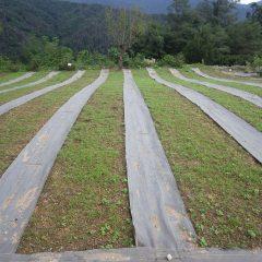 カモマイル・ジャーマン畑は日毎に緑が濃くなっています