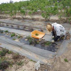 タイム・マストキナ畑の除草作業