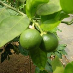 グレープフルーツの実も大きくなり始めました