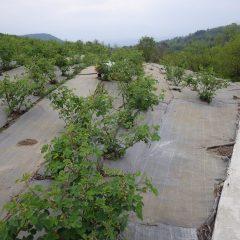 ローズ畑の除草作業