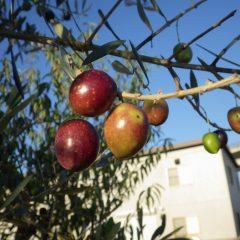 オリーブの実が熟して赤黒くなりました