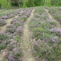 タイム・ブルガリス畑