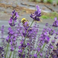 刈り取られてはおまんまの食い上げとばかり大慌てのミツバチさん