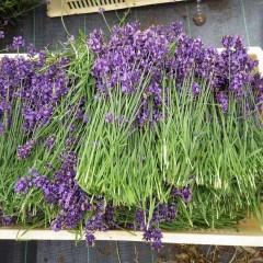 花穂は短いが色の濃い「濃紫」(ノウシ):通称「早咲き3号」