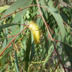 黄金の毛虫を発見! 幸せを運んで来てくれたのかと調べたらリンゴドクガの幼虫でした