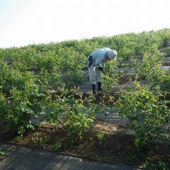 ローズ畑の除草作業は日が傾くまで続けられました