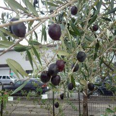 天気予報通り昼前からポツポツと雨が降り始めて来たので大急ぎでオリーブの果実を収獲しました