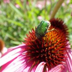 お天気の日は虫さん達も大忙し、名前通りのハナムグリ(花潜り)
