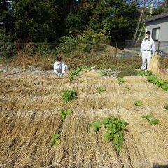 雑草を防ぐ目的も兼ねているので一面に敷き詰めます
