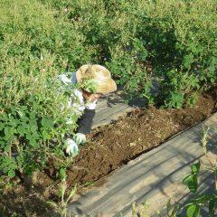 収穫が終わればまた除草作業が待っています