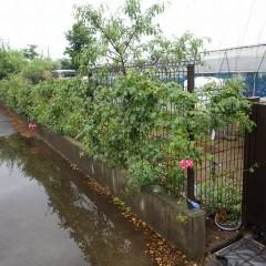 雨が小降りになったのでつるバラの手入れをしました