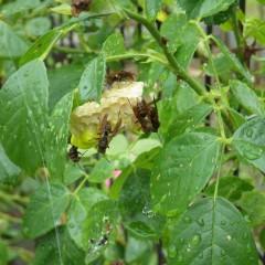 葉の陰に隠れて雨をしのぎながらハチが巣を作っていました