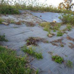 劣化した防草シートの上に生えた雑草