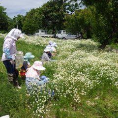 ローズの収穫と同時にカモマイル・ジャーマンの摘み取りも行われています