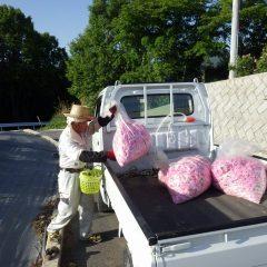 収獲したローズを集めて作業終了、本日の収獲は150kgとなりました