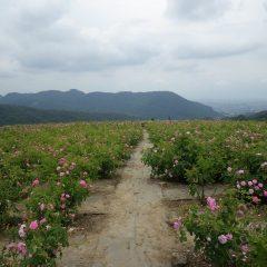 朝からどんよりとした雲に覆われた蒸し暑い満開のローズ畑