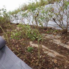 緑色の若くて真っ直ぐ伸びた太い枝を残して剪定しました
