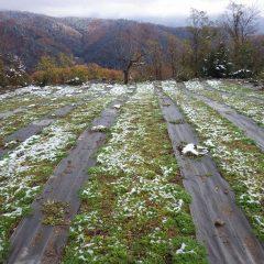 薄っすらと雪の残ったカモマイル・ジャーマン