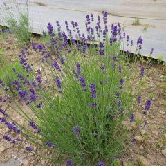 濃紫(ノウシ:早咲き3号)は早くも色付いています