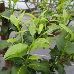 ベルガモットの新芽が勢いよく伸びています